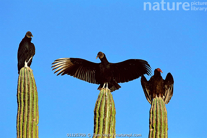 Black vulture {Coragyps atratus} and Turkey vulture {Cathartes aura} sunning, Sonora, Mexico.  ,  SONORA,THREE,PLANTS,MIXED SPECIES,MEXICO,VULTURES,VERTICAL,THERMOREGULATION,AURA,CATHARTES,CACTUS,CARDON,CACTI,CENTRAL AMERICA,DESERTS,BIRDS  ,  Tom Vezo