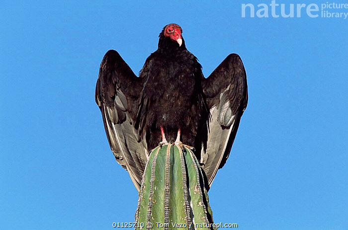 Turkey vulture {Cathartes aura} sunning on cardon cactus, Sonora, Mexico  ,  CENTRAL AMERICA,CACTI,DESERTS,BIRDS,VERTICAL,VULTURES,THERMOREGULATION,PLANTS,MIDDLE-EAST  ,  Tom Vezo
