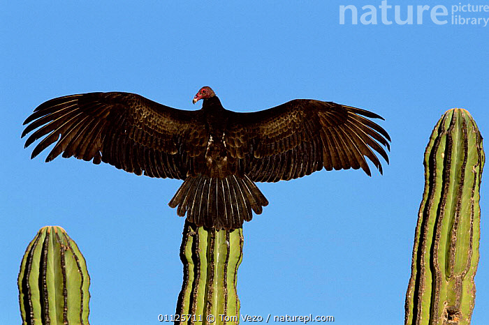 Turkey vulture {Cathartes aura} sunning on cardon cactus, Sonora, Mexico  ,  PLANTS,WINGS,VULTURES,BIRDS,DESERTS,CACTI,CENTRAL AMERICA,THERMOREGULATION,MIDDLE-EAST  ,  Tom Vezo
