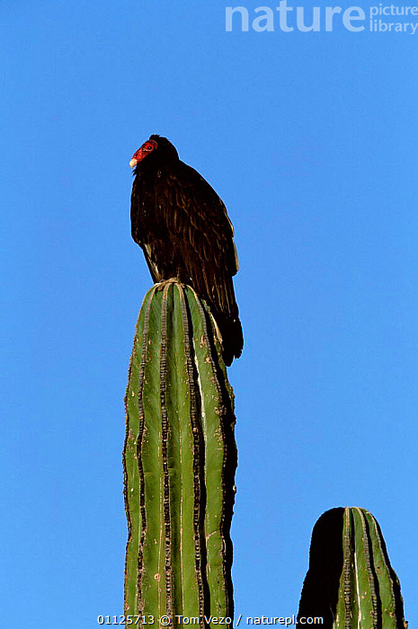 Turkey vulture {Cathartes aura} on cardon cactus, Sonora, Mexico  ,  CENTRAL AMERICA,CACTI,DESERTS,BIRDS,PLANTS,VERTICAL,VULTURES,MIDDLE-EAST  ,  Tom Vezo