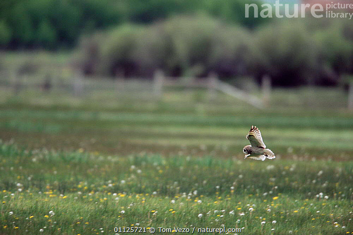 Short eared owl hunting over grass {Asio flammeus} Idaho, USA  ,  USA,OWLS,NORTH AMERICA,MEADOW,BIRDS OF PREY,BEHAVIOUR,FLYING,GRASSLAND,Raptor  ,  Tom Vezo