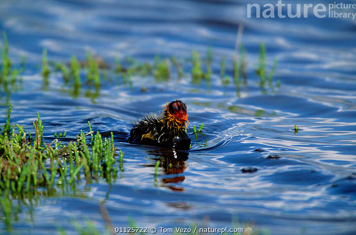 American coot chick {Fulica americana} Utah, USA  ,  USA,WATERFOWL,BIRDS,BABIES,COOTS,CHICKS,NORTH AMERICA  ,  Tom Vezo