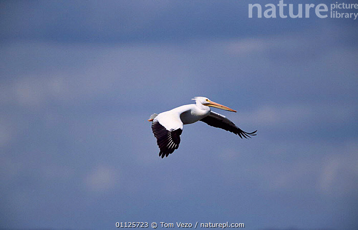 American white pelican in flkight {Pelecanus erythrorhynchos} Utah, USA  ,  FLYING,BIRDS,NORTH AMERICA,PELICANS,USA,SEABIRDS  ,  Tom Vezo
