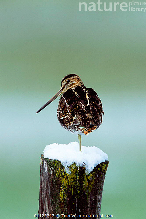 Common snipe {Gallinago gallinago} Idaho, USA  ,  NORTH AMERICA,SNOW,WADERS,VERTICAL,BIRDS  ,  Tom Vezo