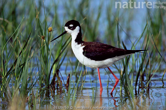Black necked stilt wading {Himantopus mexicanus} Utah, USA  ,  WADERS,USA,STILTS,NORTH AMERICA,BIRDS  ,  Tom Vezo