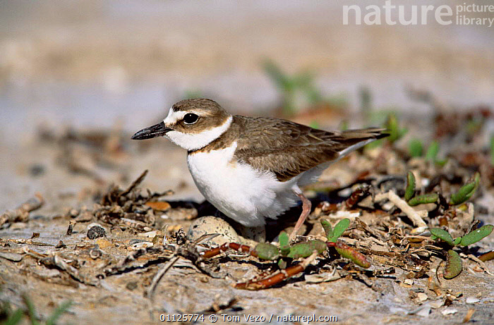 Wilson's plover with egg at nest {Charadrius wilsonia} Texas, USA  ,  NORTH AMERICA,NESTS,BIRDS,EGGS,USA,WADERS,WILSON,PLOVERS  ,  Tom Vezo