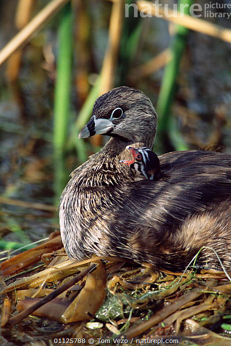 Pied-billed grebe with chick on back in nest {Podilymbus podiceps} Texas, USA  ,  VERTICAL,USA,WATERFOWL,NORTH AMERICA,NESTS,GREBES,FAMILIES,CUTE,CHICKS,BIRDS,BEHAVIOUR,BABIES  ,  Tom Vezo