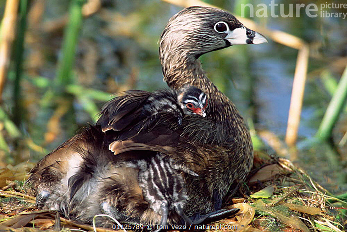 Pied-billed grebe with chicks on back in nest {Podilymbus podiceps} Texas, USA  ,  BABIES,BEHAVIOUR,BIRDS,CHICK,CUTE,FAMILIES,GREBES,NESTS,NORTH AMERICA,WATERFOWL,USA  ,  Tom Vezo