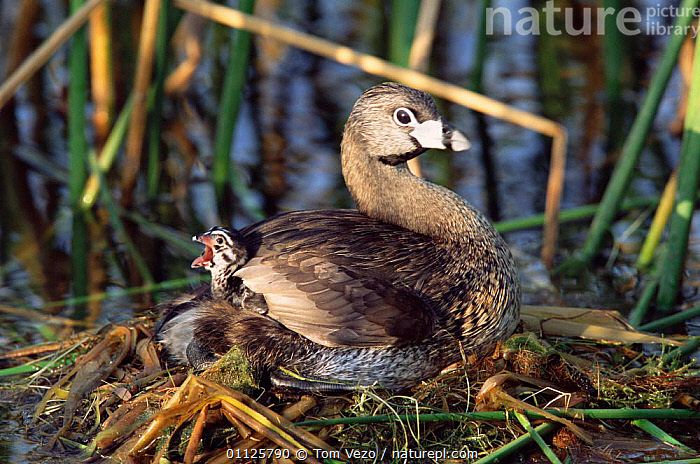 Pied-billed grebe with chick on back in nest {Podilymbus podiceps} Texas, USA  ,  USA,WATERFOWL,WETLANDS,NORTH AMERICA,NESTS,GREBES,FAMILIES,CUTE,CHICKS,BIRDS,BEHAVIOUR,BABIES  ,  Tom Vezo