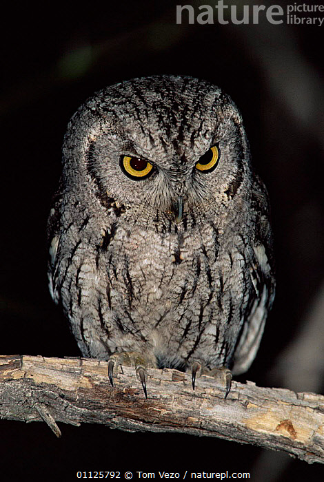 Western screech owl {Megascops kennicotti} Arizona, USA  ,  BIRDS, BIRDS-OF-PREY, NIGHT, OWLS, PORTRAITS, USA, VERTEBRATES, VERTICAL,North America,Raptor  ,  Tom Vezo