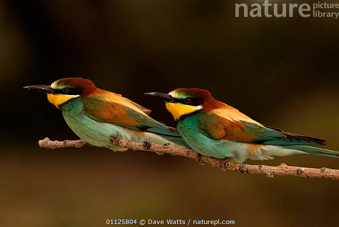 Pair of European bee-eaters {Merops apiaster} Camargue, France.  ,  BIRDS,EUROPE,FRANCE,MALE FEMALE PAIR,TWO  ,  Dave Watts