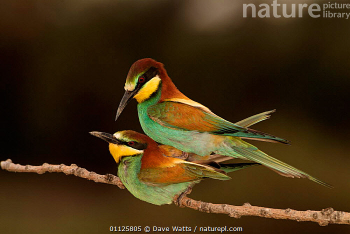 Pair of European bee-eaters mating {Merops apiaster} Camargue, France  ,  BIRDS,COPULATION,EUROPE,MALE FEMALE PAIR,MATING BEHAVIOUR,REPRODUCTION,TWO  ,  Dave Watts