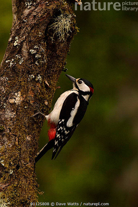 Great spotted woodpecker {Dendrocopus major} France.  ,  BIRDS,DENDROCOPUS,EUROPE,FRANCE,TRUNKS,VERTICAL,WOODPECKERS  ,  Dave Watts