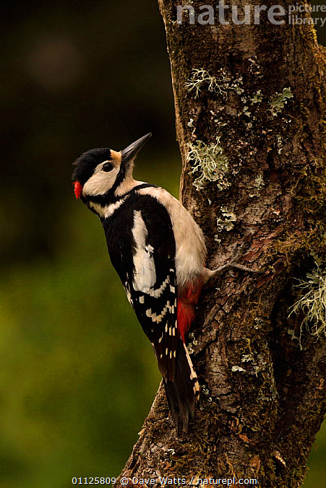 Great spotted woodpecker on tree trunk {Dendrocopus major} France.  ,  BIRDS,DENDROCOPUS,EUROPE,FRANCE,TRUNKS,VERTICAL,WOODPECKERS  ,  Dave Watts