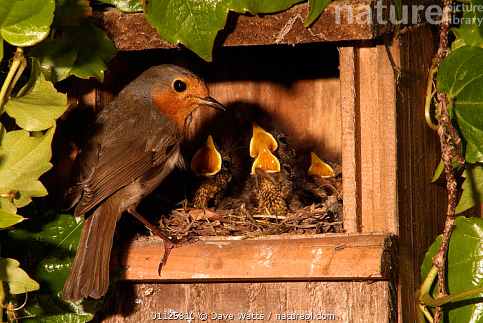 Robin feeding hungry chicks in nest box {Erithacus rubecula} France.  ,  BABIES,BIRDS,EUROPE,FAMILIES,FRANCE,GARDENS,NESTBOX,NEST BOXES,NESTS  ,  Dave Watts