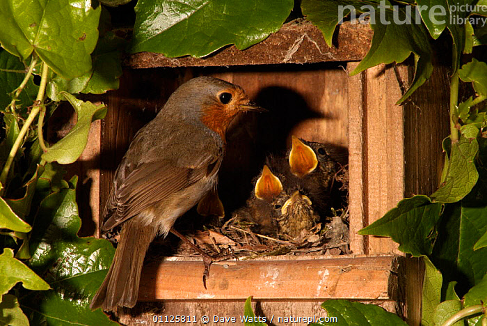 Robin feeding begging chicks in nest box {Erithacus rubecula} France  ,  BIRDS,EUROPE,FAMILIES,GARDENS,NESTBOX,NEST BOXES,NESTS  ,  Dave Watts