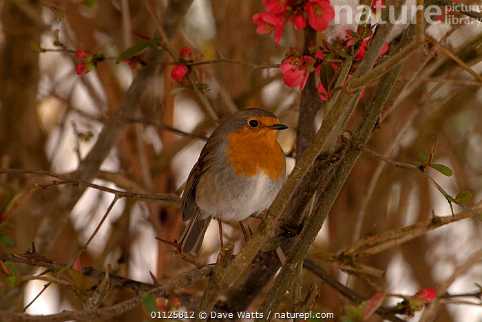 Robin perched {Erithacus rubecula} France.  ,  BIRDS,EUROPE,FRANCE  ,  Dave Watts
