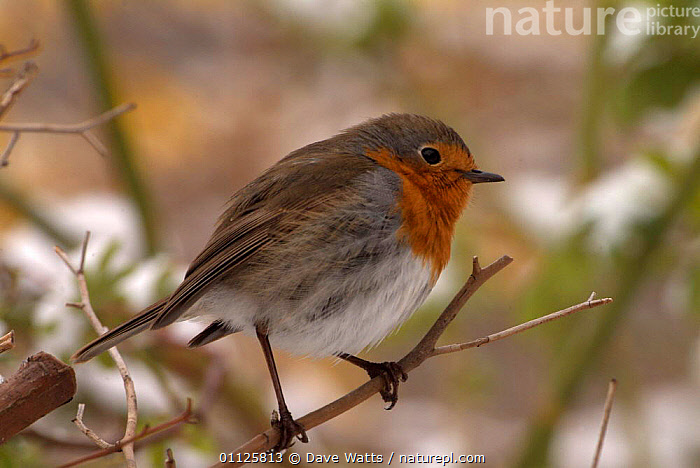 Robin perched {Erithacus rubecula} France  ,  BIRDS,EUROPE  ,  Dave Watts