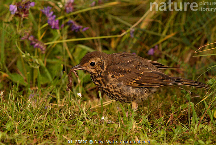 Song thrush hunting for worms {Turdus philomelos} France  ,  BEHAVIOUR,BIRDS,EUROPE,FEEDING,PREDATION,THRUSHES  ,  Dave Watts