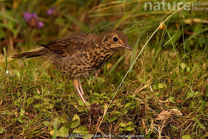 Song thrush hunting for worms {Turdus philomelos} France  ,  BEHAVIOUR,BIRDS,EUROPE,PREDATION,THRUSHES  ,  Dave Watts