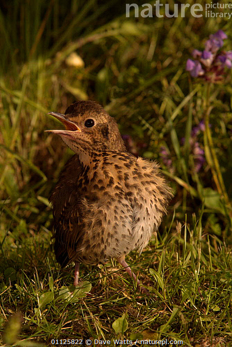 Song thrush juvenile sunning {Turdus philomelos} France.  ,  BEHAVIOUR,BIRDS,EUROPE,FRANCE,THERMOREGULATION,THRUSHES,VERTICAL  ,  Dave Watts
