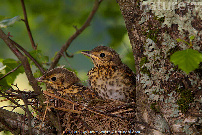 Song thrush fledglings in nest {Turdus philomelos} France.  ,  BIRDS,CHICKS,EUROPE,FRANCE,JUVENILE,NESTS,THRUSHES,TWO  ,  Dave Watts