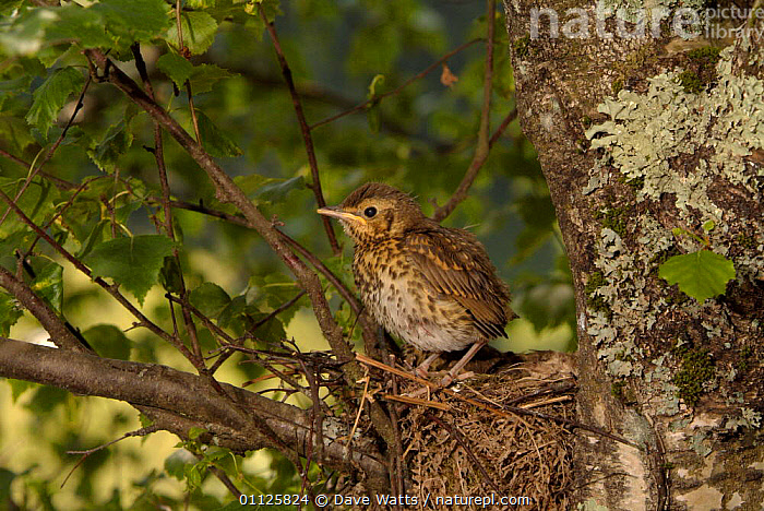 Song thrush fledgling about to leave nest {Turdus philomelos} France.  ,  BIRDS,CHICKS,EUROPE,FLEDGLINGS,FRANCE,JUVENILE,NESTS,THRUSHES  ,  Dave Watts