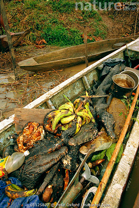 Bushmeat (caiman, monkey, tortoise, peccary) in canoe, Amazonia, Peru.  ,  AMAZON,AMERICA,ANIMAL,BOATS,BOCA,BUSH,CAIMAN,CONTAINS,FOOD,FOREST,HUNTING,LANDSCAPES,MEAT,MISHAGUA,MONKEYS,PECCARY,RIVER,SOUTH,TORTOISES,TROPICAL RAINFOREST,VERTICAL,WILD,SOUTH-AMERICA  ,  Pete Oxford