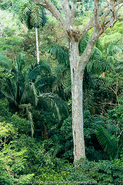 Crested eagle nest in tree {Morphnus guianensis} Amazonia, Peru  ,  BIRDS OF PREY,EAGLES,HABITAT,NESTS,SOUTH AMERICA,TROPICAL RAINFOREST,VERTICAL,Raptor  ,  Pete Oxford