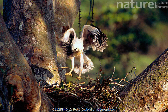 Crested eagle fledgling exercising on nest {Morphnus guianensis} Amazonia, Peru  ,  BIRDS OF PREY,CHICK,CHICKS,EAGLES,FLYING,HUMOROUS,JUMPING,JUVENILE,MOVEMENT,NESTS,SOUTH AMERICA,TROPICAL RAINFOREST,Concepts,Raptor  ,  Pete Oxford