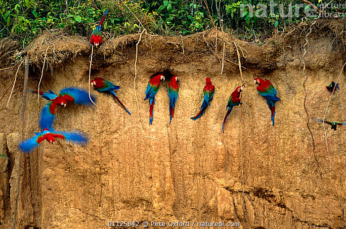 Green winged macaws on clay lick {Ara chloroptera} Heath River, Peru  ,  AMAZONIA,BIRDS,FEEDING,FLOCKS,FLYING,MINERAL,MINERALS,PARROTS,SOUTH AMERICA,TROPICAL RAINFOREST,Macaws  ,  Pete Oxford