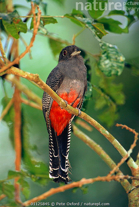 Blue-crowned trogon, female {Trogon curucui} Manu NP. Peru  ,  BIRDS,FEMALES,NATIONAL,NP,PARK,RESERVE,SOUTH AMERICA,TROGONS,TROPICAL RAINFOREST,National Park  ,  Pete Oxford