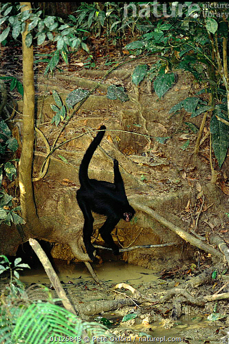 Long haired spider monkey eats minerals at clay lick, {Ateles belzebuth} Peru Manu  ,  AMAZON,AMAZONIA,BEHAVIOUR,CENTER,CENTRE,FEEDING,MAMMALS,MONKEYS,PRIMATES,RESERVE,SOUTH AMERICA,STRETCHING,TROPICAL RAINFOREST,WHITE BELLIED,WILDLIFE  ,  Pete Oxford
