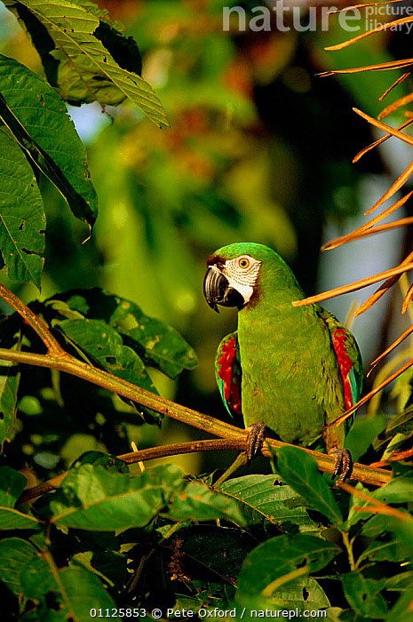Chestnut-fronted macaw {Ara severa} Amazonia, Peru  ,  BIRDS,PARROTS,SOUTH AMERICA,TROPICAL RAINFOREST,VERTICAL,Macaws  ,  Pete Oxford
