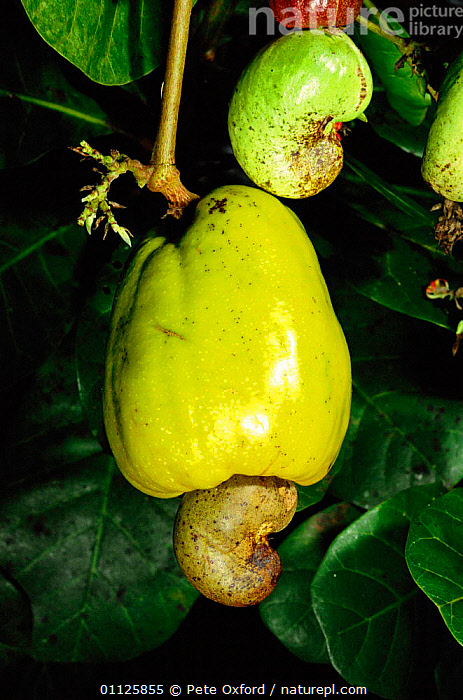 Mature Cashew nut fruit on tree {Anacardium occidentale} Amazonia, Peru  ,  CROPS,EDIBLE,NUTS,PLANTS,SOUTH AMERICA,TREES,TROPICAL RAINFOREST,VERTICAL  ,  Pete Oxford