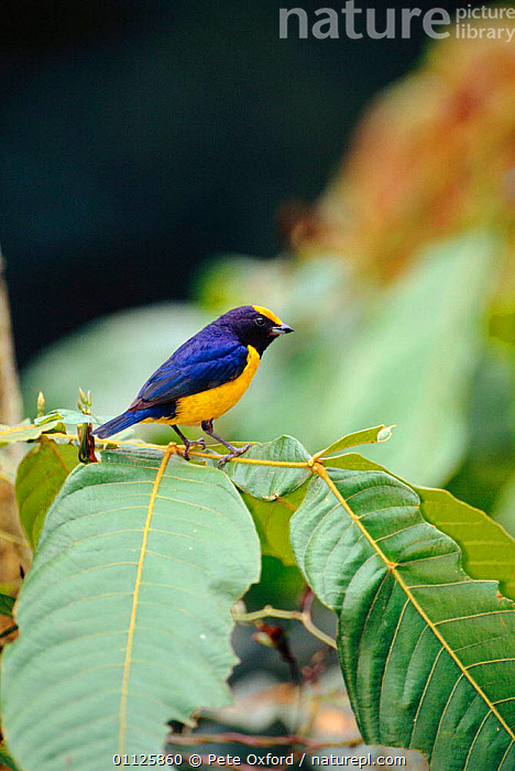Orange-bellied euphonia {Euphonia xanthogaster} Manu Cloud Forest, Peru  ,  BIRDS,COLOURFUL,NATIONAL,PARK,RESERVE,SOUTH AMERICA,TANAGERS,TROPICAL RAINFOREST,VERTICAL  ,  Pete Oxford