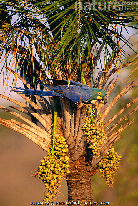 Lear's macaw feeding on Licuri palm fruit {Anodorhynchus leari} Caatinga, Brazil  ,  BEHAVIOUR,BIRDS,ENDANGERED,LEAR,PARROTS,SOUTH AMERICA,TREES,VERTICAL,Plants,Macaws  ,  Pete Oxford