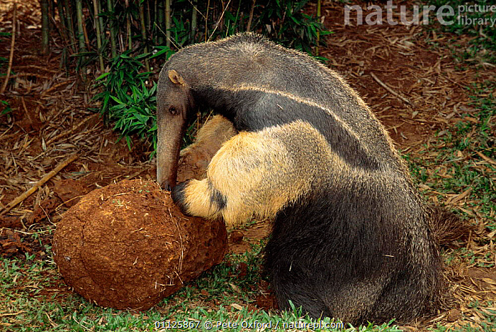 Giant anteater feeding on termite mound {Myrmecophaga tridactyla} Brazil  ,  ANTEATERS,ANTS,BEHAVIOUR,EDENTATES,HUMOROUS,INSECTS,MAMMALS,SOUTH AMERICA,Concepts,Invertebrates  ,  Pete Oxford