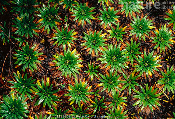 Cushion plant, range crossing east over the Andes into cloud forest, Peru  ,  ALPINE,DISTRIBUTION,HIGHLANDS,LANDSCAPES,PLANTS,SOUTH-AMERICA  ,  Pete Oxford