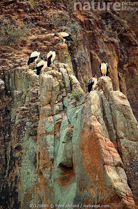 King vultures roosting on cliff {Sarcoramphus papa} in Caatinga habitat, Bahia, Brazil  ,  BIRDS,CLIFFS,DESERTS,SARCORAMPHUS,SOUTH AMERICA,VERTICAL,Geology  ,  Pete Oxford