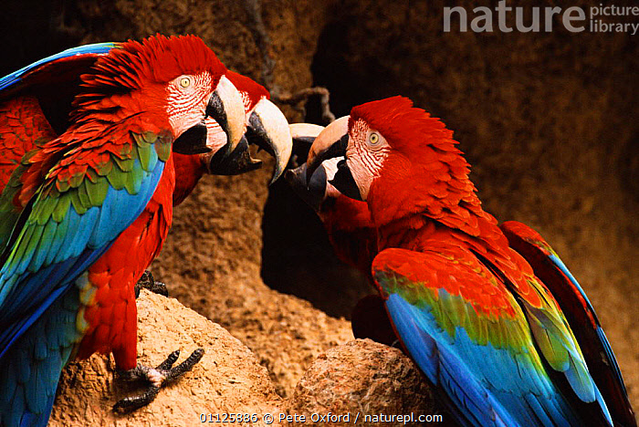 Green winged macaws squabbling at clay lick {Ara chloroptera} Heath river Peru  ,  BEHAVIOUR,BIRDS,FIGHTING,GROUPS,PARROTS,SOUTH AMERICA,THREE,TROPICAL RAINFOREST,Aggression,Macaws,Concepts  ,  Pete Oxford