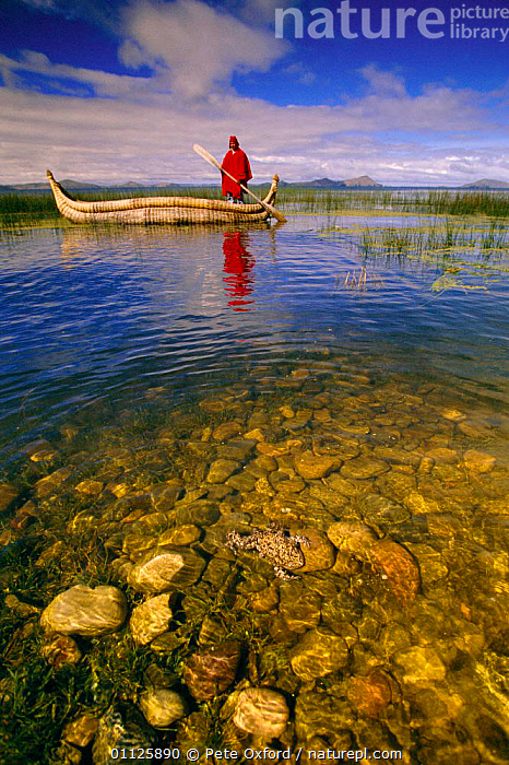 Totoro reed boat + Giant Titicaca frog {Telmatobius culeus} Lake Titicaca, Peru  ,  AMPHIBIANS,BOATS,BOLIVIA,CANOE,FRESHWATER,FROGS,LAKES,LANDSCAPES,PEOPLE,SOUTH AMERICA,TRADITIONAL,VERTICAL,Anura,SOUTH-AMERICA  ,  Pete Oxford