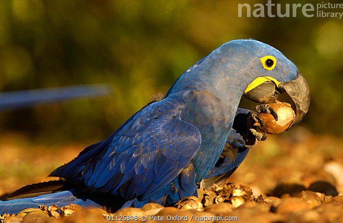 Hyacinth macaw holding palm nut in claw while feeding, Cerrado, Piaui, Brazil  ,  BEHAVIOUR,BIRDS,NUTS,PARROTS,SOUTH AMERICA,Macaws  ,  Pete Oxford