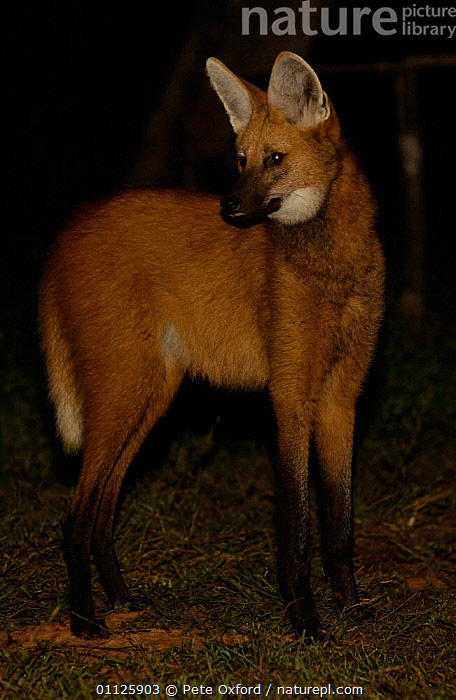 Maned wolf at night {Chrysocyon brachyurus} Brazil  ,  MAMMALS,PORTRAITS,SOUTH AMERICA,VERTICAL,WILD,WOLVES,Dogs,Canids  ,  Pete Oxford