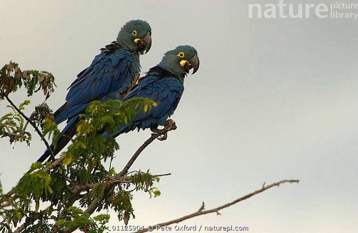 Lear's macaws {Anodorhynchus leari} Caatinga, Brazil  ,  BIRDS,LEAR,PARROTS,SOUTH AMERICA,TWO,Macaws  ,  Pete Oxford