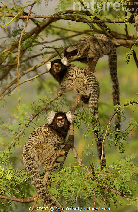 White tufted ear marmoset {Callithrix jacchus jacchus} Caatinga, Bahia state, Brazil  ,  CUTE,HABITAT,MAMMALS,MARMOSETS,PRIMATES,SOUTH AMERICA,THREE,VERTICAL,WHITE TUFTED EAR,WILD  ,  Pete Oxford