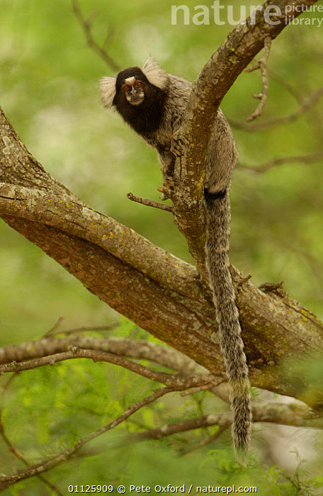 White tufted ear marmoset {Callithrix jacchus jacchus} Caatinga, Bahia state, Brazil  ,  CUTE,HABITAT,MAMMALS,MARMOSETS,PRIMATES,SOUTH AMERICA,VERTICAL,WHITE TUFTED EAR,WILD  ,  Pete Oxford