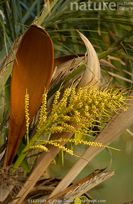 Licuri palm flowers {Syagrus coronata} Caatinga, NE Brazil Nuts are favoured food of Lear's Macaws  ,  CERRADO,CORONATA,FRUIT,LEAR,MACAWS,PIAUI,PLANTS,SOUTH AMERICA,TREES,VERTICAL  ,  Pete Oxford