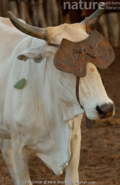 Cow with leather eye shield, prevents cow moving away too quickly, NE Brazil Caatinga  ,  BAHIA,CATTLE,DOMESTIC CATTLE,LANDSCAPES,LIVESTOCK,STATE,VERTICAL,SOUTH-AMERICA  ,  Pete Oxford
