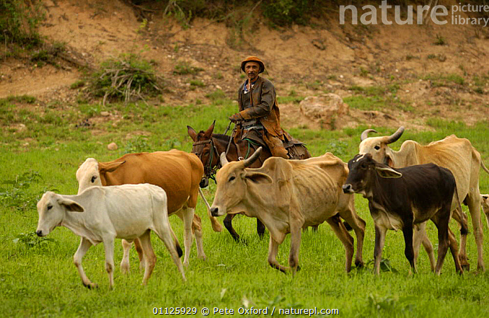 Brazilian 'Vaquieros' cowboy + domestic cattle, Caatinga, Piaui State, NE Brazil  ,  DOMESTIC CATTLE,HERDING,HERDS,HORSE,HORSES,LANDSCAPES,LIVESTOCK,PEOPLE,RIDING,TRADITIONAL,WORKING,SOUTH-AMERICA  ,  Pete Oxford